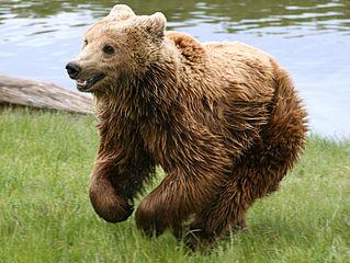 Clawed by a bear